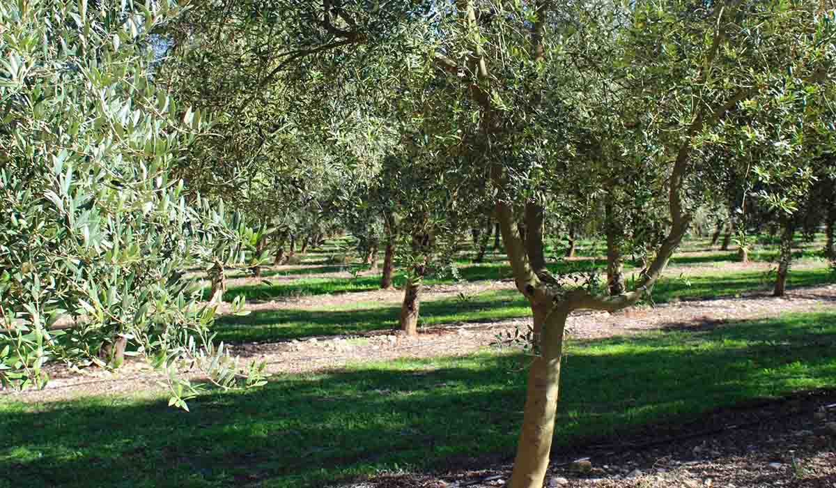 bconnected-blog-Top 5 extra virgin olive oil in Mallorca